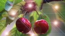 cherry-tree-1562