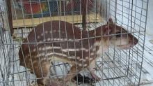 El tráfico de especies de fauna y flora silvestre genera ganancias millonarias en el mundo, reporta la ONU.