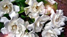 gardenia-2939