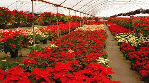 Floricultores mexiquenses percibirán alrededor de 39.6 millones de pesos con la comercialización de un millón 300 mil macetas de Nochebuenas.